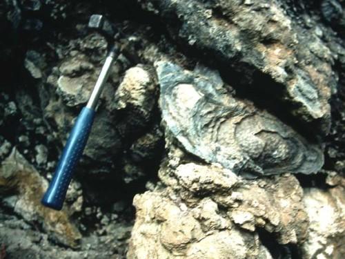 Schlade_Stromatoporen.jpg
