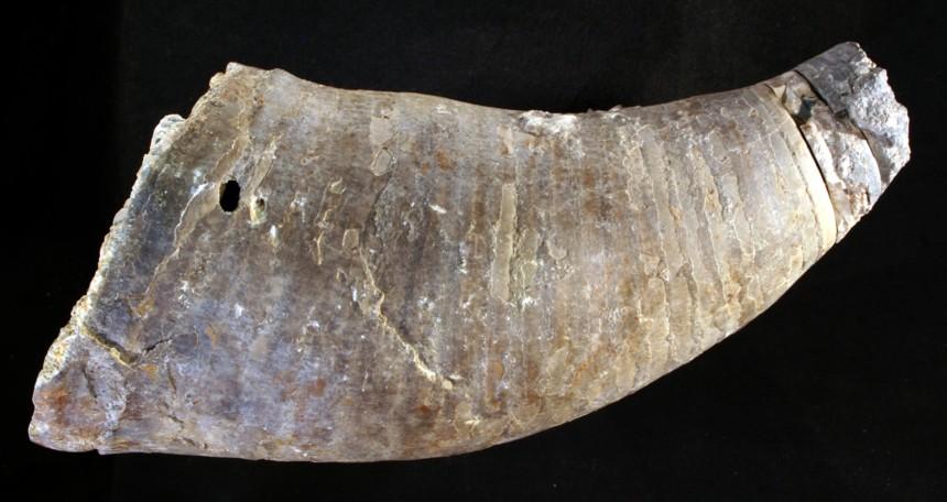 Cephalopode Cyrtoceratites sp.