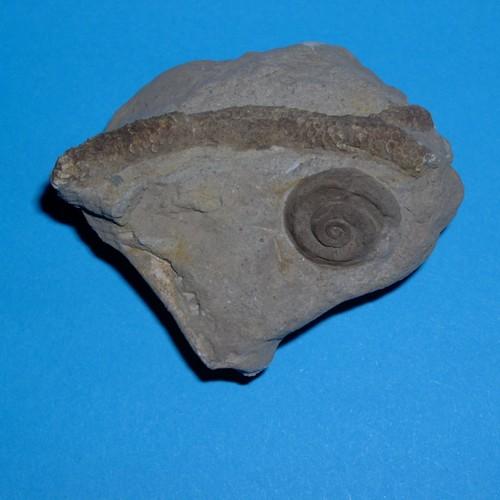 Straparollus labadeyi A.-V. mit Koralle Thamnopora
