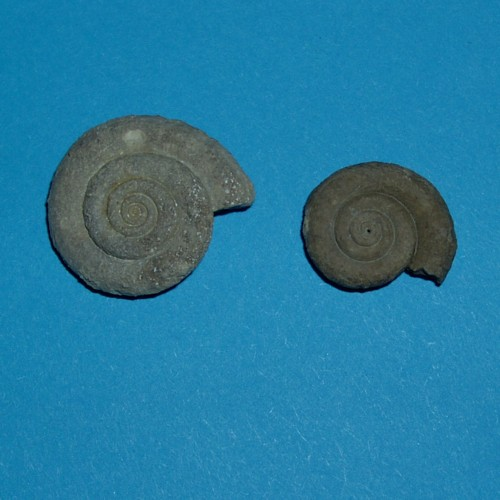 Straparollus (Philoxene) laevis A.-V.
