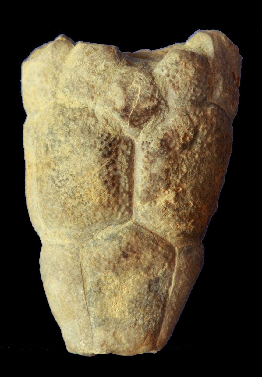 Crinoide Bactrocrinites humilis BOHATÝ, 2005