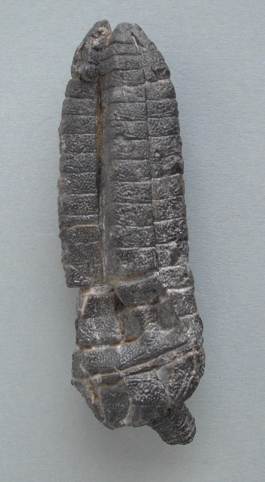 Crinoide Cupressocrinites elongatus (GOLDFUSS, 1839)