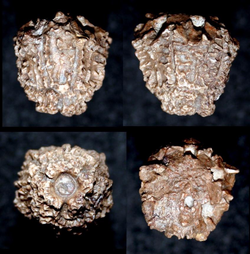 Crinoide, Megaradialocrinus crispus  (Quenstedt, 1861 )