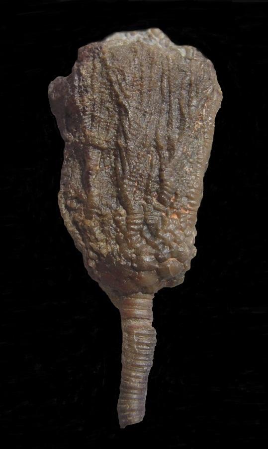 Crinoide  Rhipidocrinus crenatus (GOLDFUSS, 1831)