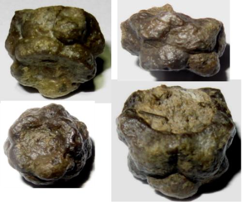 Megaradialocrinus callosus