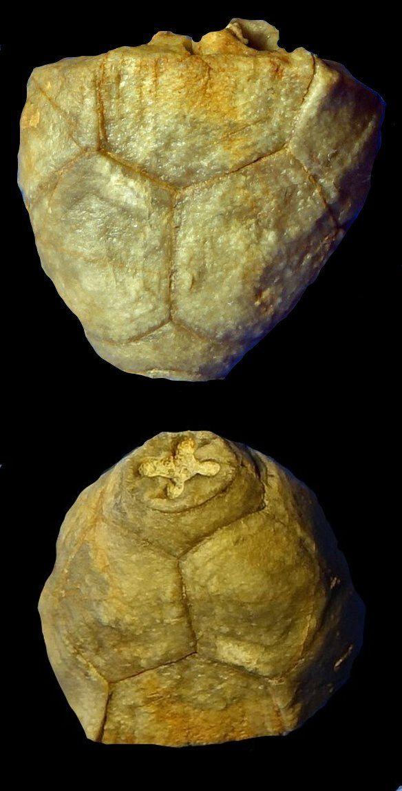 Procupressocrinites gracilis (GOLDFUSS, 1831)