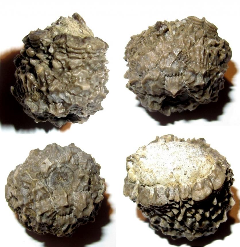 Rhipidocrinus crenatus var. aculeatus