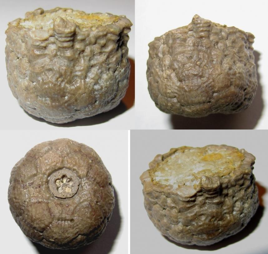 Rhipidodrinus crenatus