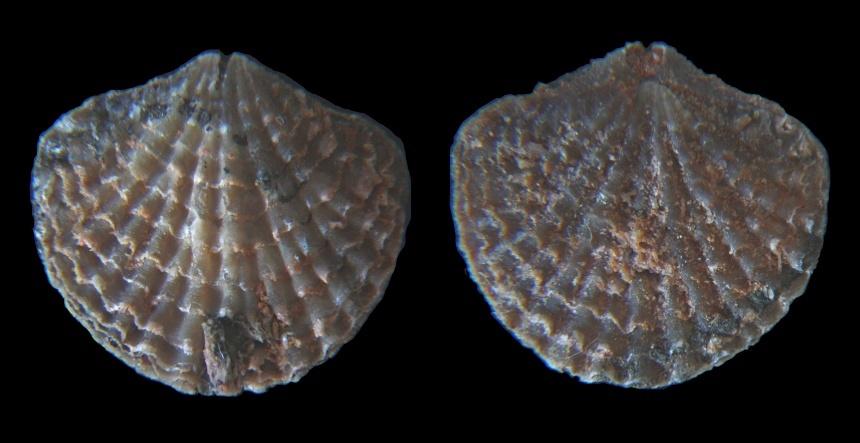 Isospinatrypa meridiana (COPPER, 1967)