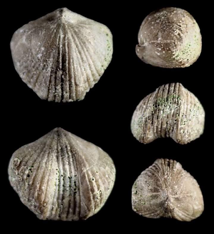 Kransia (Fatimaerhynchia) signata (Schnur, 1851)