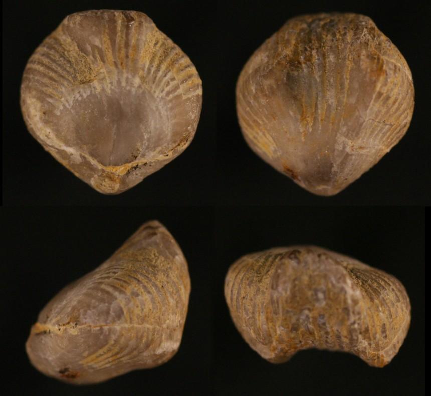 Primipilaria primipilaroides STRUVE, 1992
