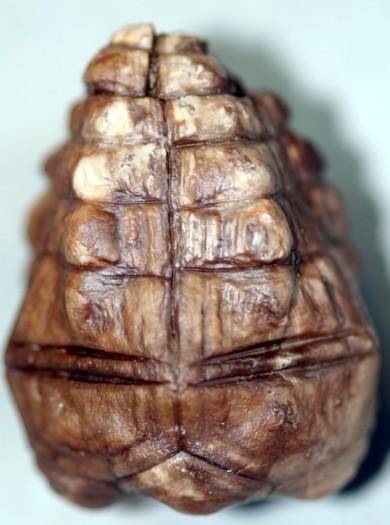 Halocrinites schlotheimii schlotheimii (STEININGER, 1831)