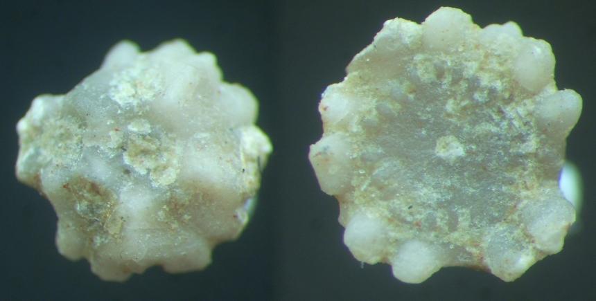 Crinoide unbestimmt