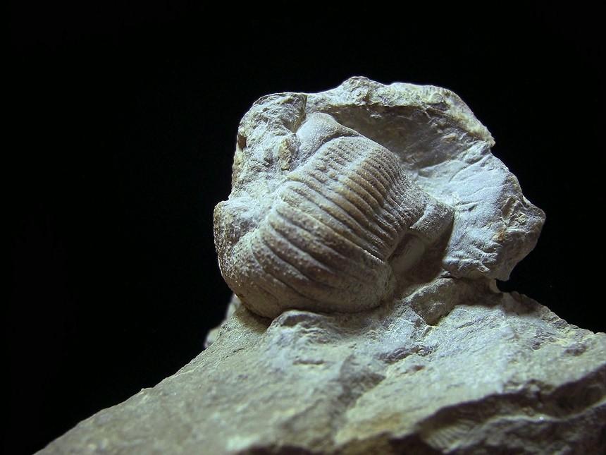 Ammonicrinus sp.