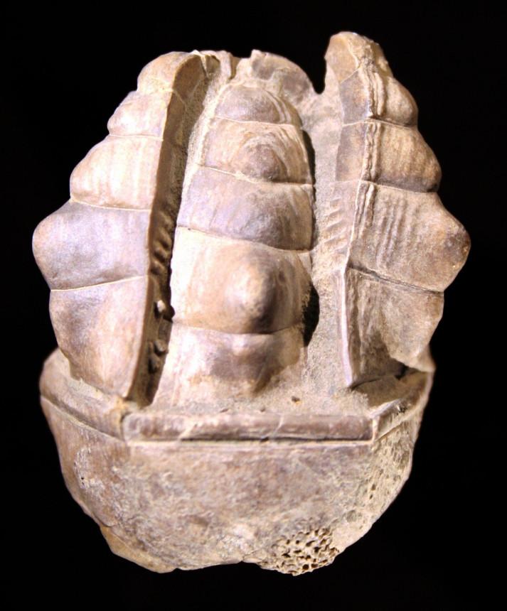 Halocrinites schlotheimii schlotheimii (STEININGER 1831)