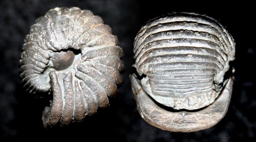 Crinoide Ammonicrinus doliiformis