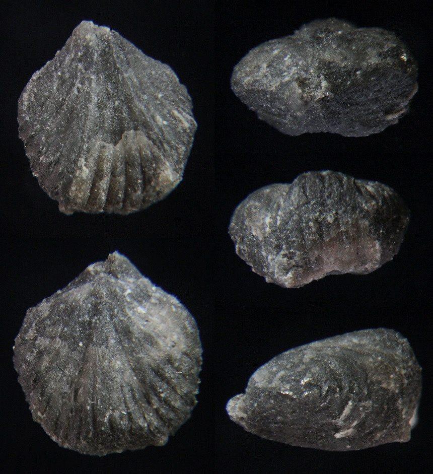 Brachiopode Kransia pentagona (KAYSER, 1871)