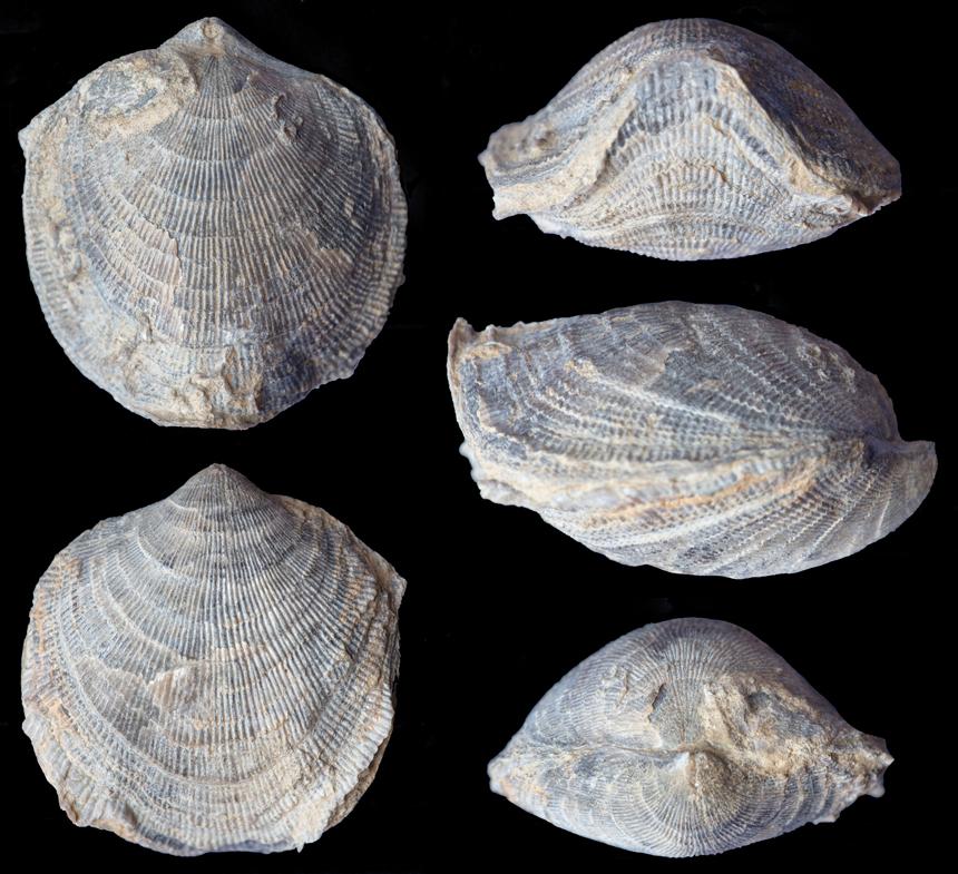 Desquamatia (Variatrypa) subditiva COPPER, 1966