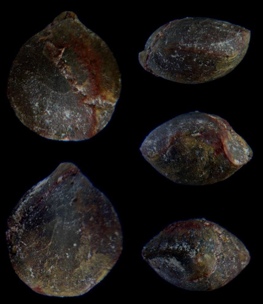 Brachiopode Dicamara prunulum (SCHNUR, 1851)