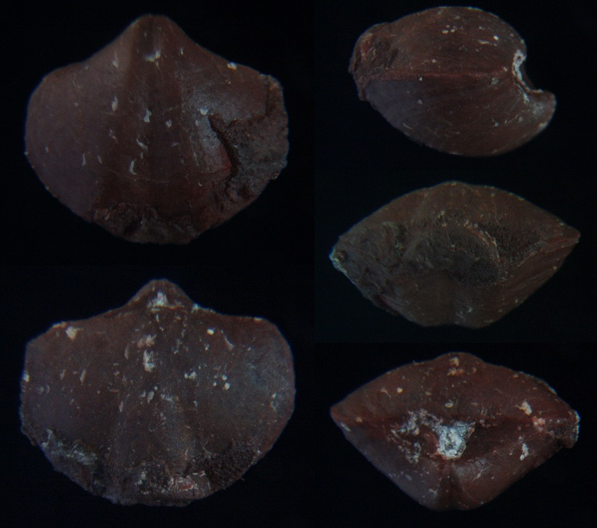 Brachiopode Rhenothyris aff. sinuata (GÜRICH, 1896)