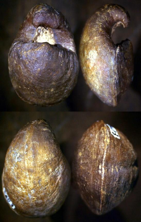 Brachiopode Kosirium sp.