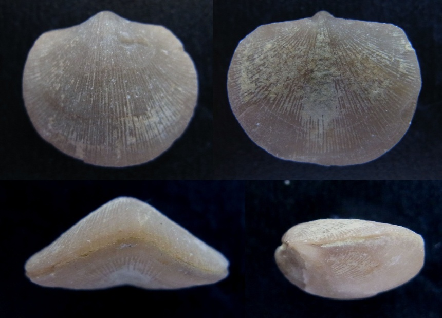 Brachiopode Lavenea subcarinata pumilis