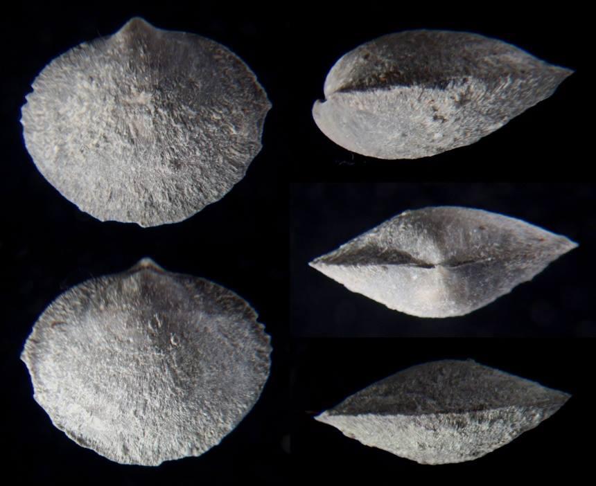 Brachiopode Nucleospira concinna HALL
