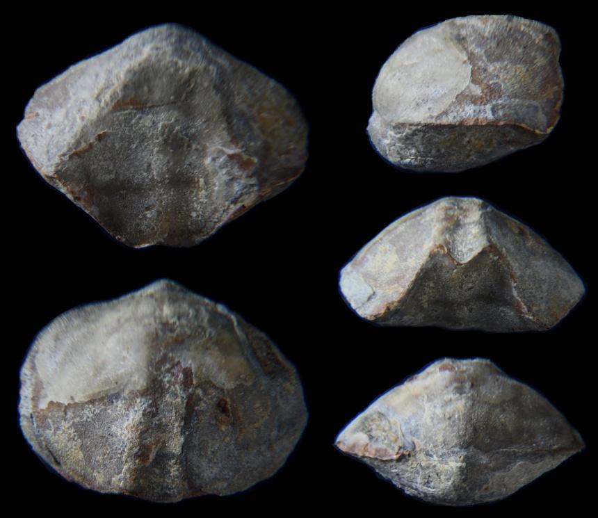 Brachiopode Calvinaria megistana (LE HON, 1870)