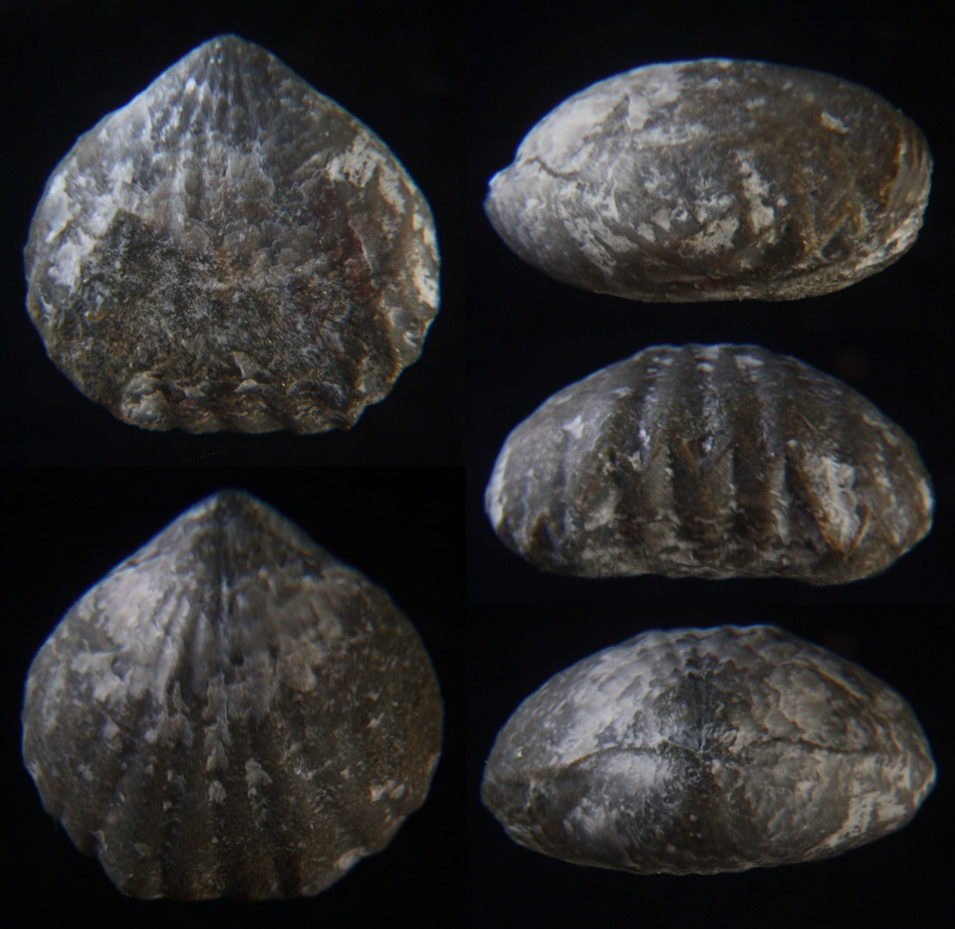 Brachiopode Centrorhynchus letiensis (GOSSELET 1879)