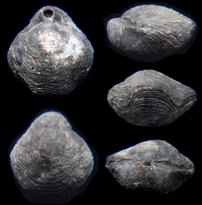 Brachiopode Dicamara plutonis MOTTEQUINN, 2008