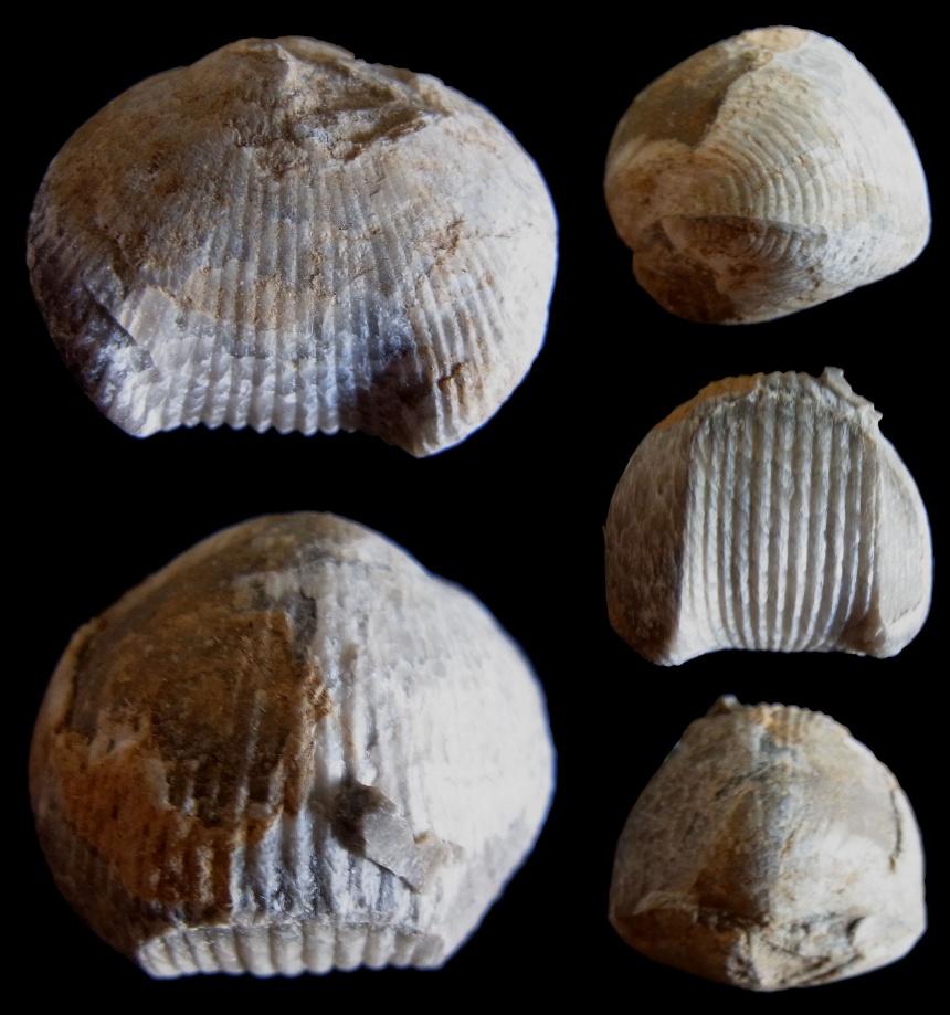 Brachiopode Hypothyridina sp.