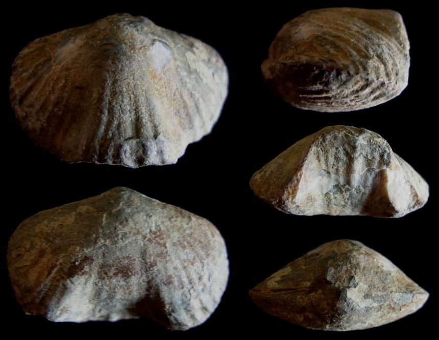 Brachiopode Sthenarirhynchus dionanti SARTENAER 1999