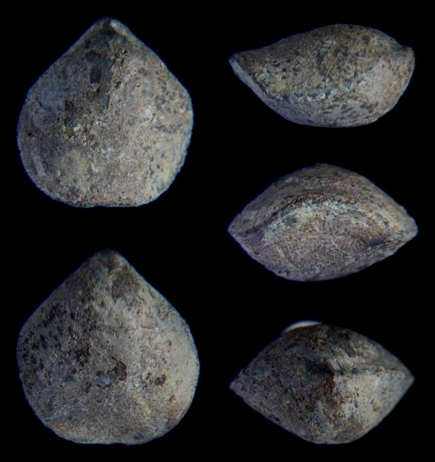 Brachiopode Neptunathyris aff. buxi MOTTEQUIN 2008