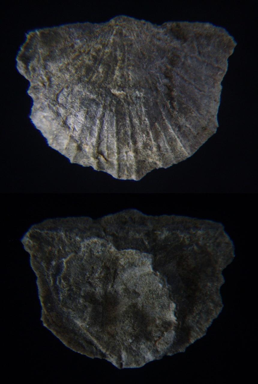 Brachiopode Nervostrophia (Ailostrophia?) sp.