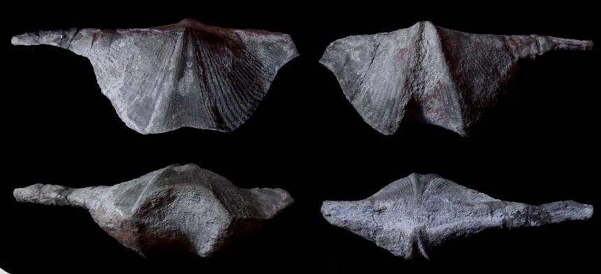 Brachiopode Geminisulcispirifer bisinus (LE HON 1870)
