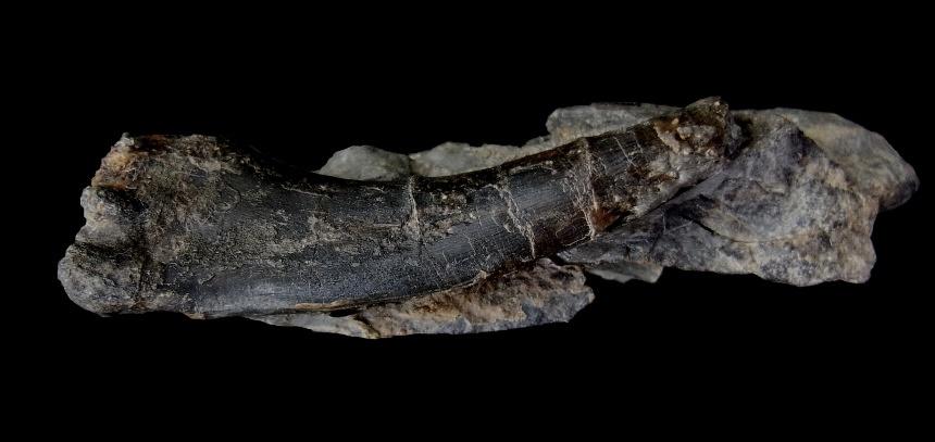 Zahn von Onychodus sp.
