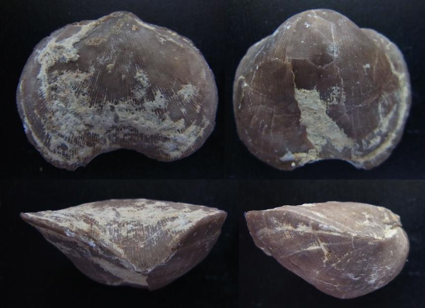 Brachiopode Schizophoria iowaensis (HALL)