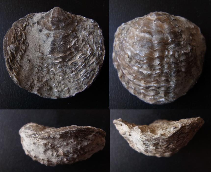 Brachiopode Spinatrypa rockfordensis (FENTON & FENTON)