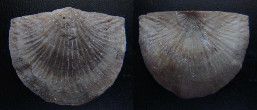 Brachiopode Strophonella reversa FENTON, 1918