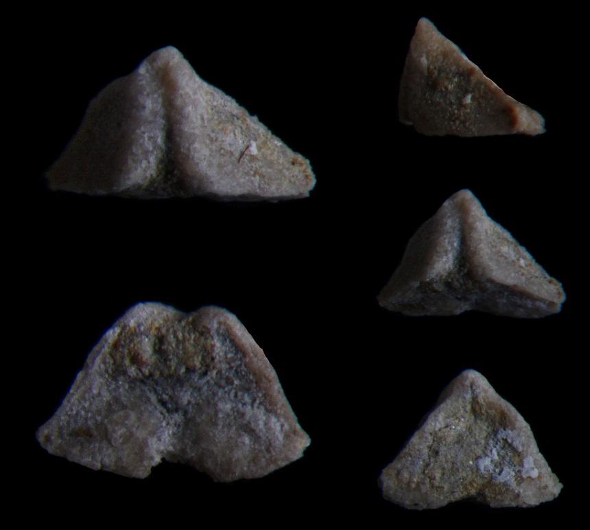 Brachiopode Komiella sp. (?)