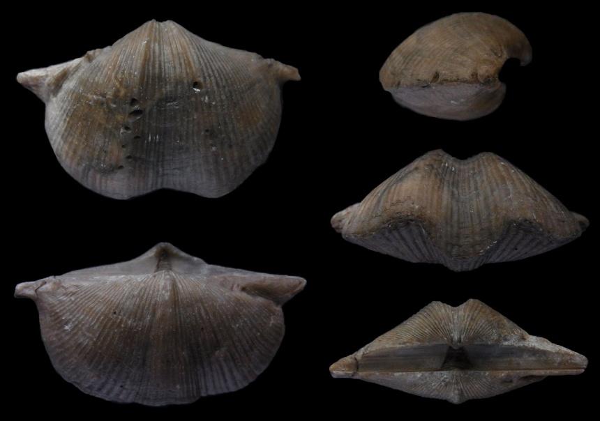 Brachiopode Cyrtospirifer rudkinensis LJASCHENKO, 1959