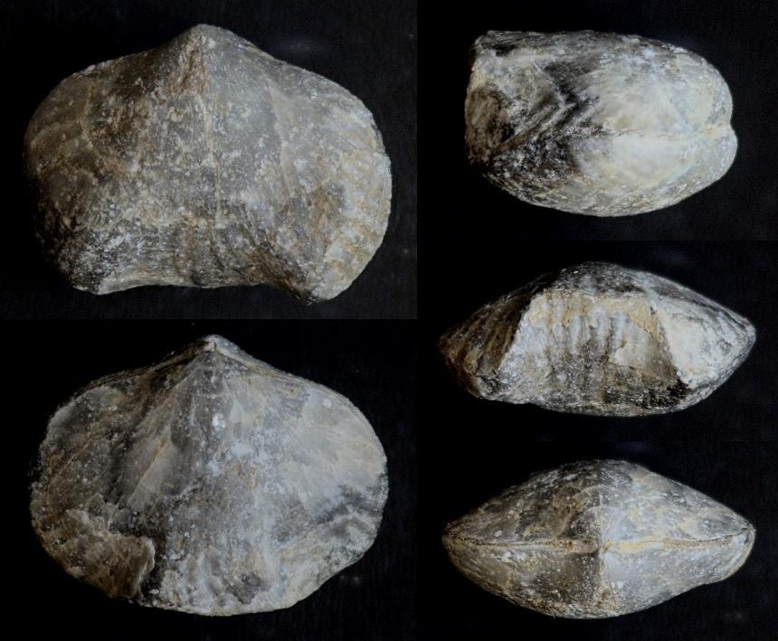 Brachiopode Phlogoiderhynchus polonicus (ROEMER 1866)