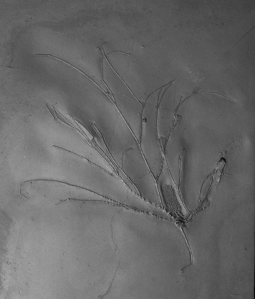 Follicrinus grabei
