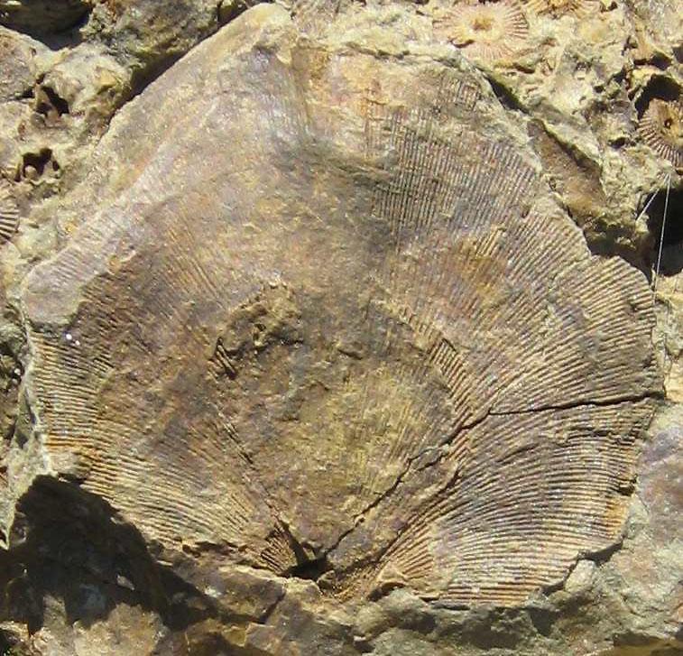 Iridistrophia hipponyx (SCHNUR 1851)