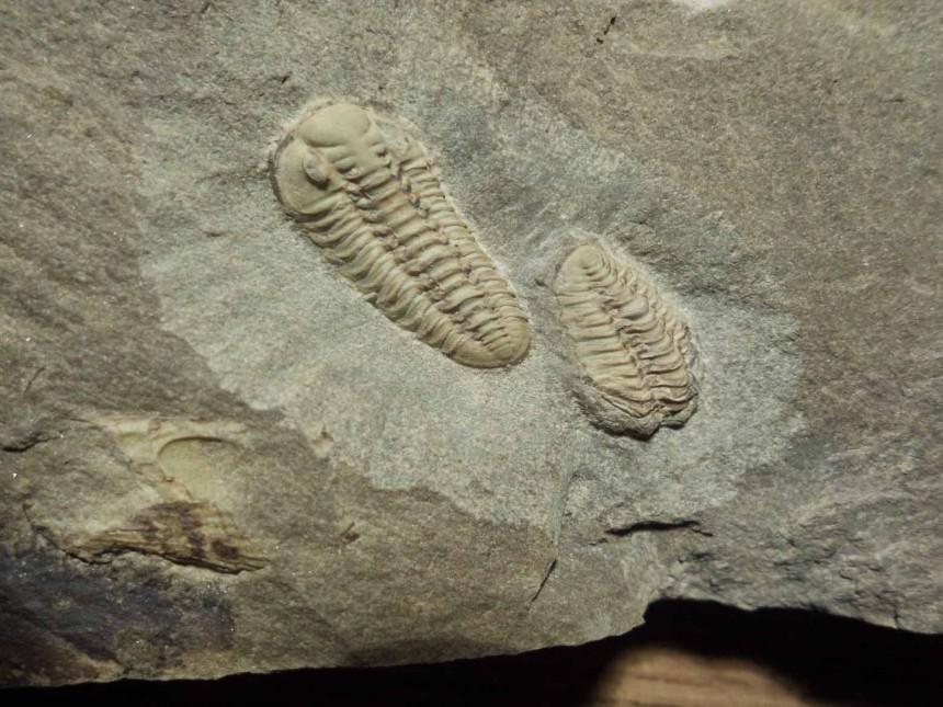 Acastoides sp.