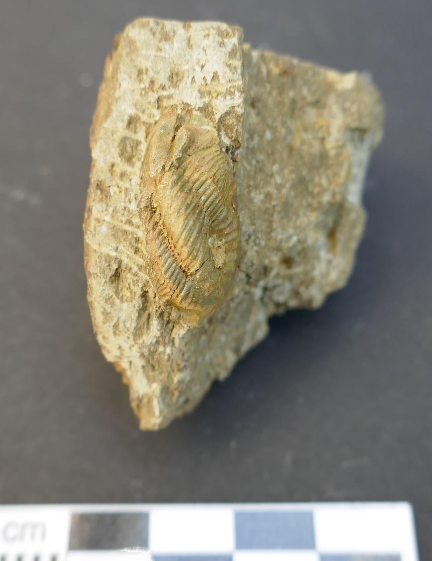 Paralejurus sp.