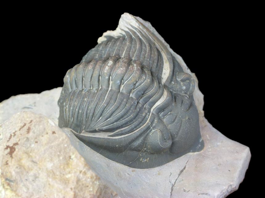 Metacanthina sp.