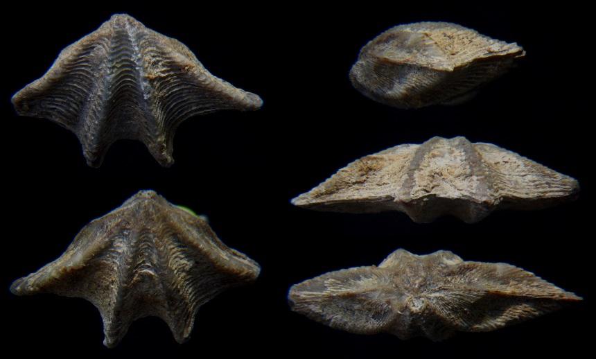 Brachiopode Anathyris ezquerrai (VERNEUIL & ARCHIAC, 1845)