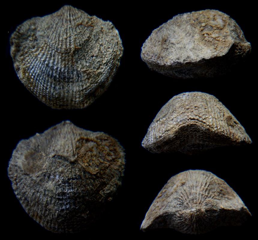 Brachiopode Atrypa sp.