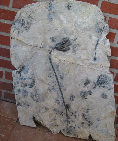 10 - Fossil des Monats Oktober 2005